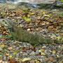 un autre iguane
