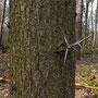 Petra Knittel. Bei diesem Baum mit den skurrilen Dornen handelt es sich um eine Gleditschie.