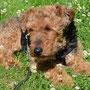 EMF-Harmonisierer für Hunde