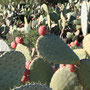 kleiner grüner Kaktus ...