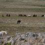 Freilebende wilde Islandpferde / Langanes