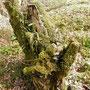 Baumstumpf mit eingewachsenen Draht
