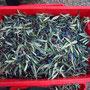 Caisse d'olives avant l'effeuillage