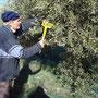 Récolte des olives avec le peigne