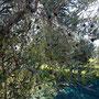 les olives commencent à murrirent