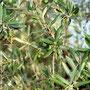 Petites olives vertes
