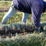 Coupe des boutures sur plant mère au taille herbe