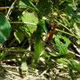 キンモウアナバチ
