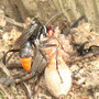 ツマアカクモバチ
