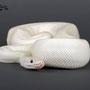 Ivo - Ivory Männchen