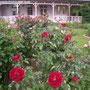 「イル ルージュ」(2007年 デルバール社)八幡山の洋館 テラス前外側花壇 2018年5月6日