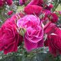 「アンプラント」(2005年 ドリュ社)八幡山の洋館 テラス前外側花壇 2018年5月6日
