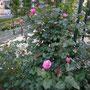 「アブデル」(2008年 河本バラ園)八幡山の洋館 南側階段脇花壇 2018年4月29日