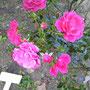 「パルメンガルテン フランクフルト」 八幡山の洋館 東側の花壇 2018年10月31日