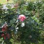 「モーリス ユトリロ」(2004年 デルバール社)八幡山の洋館 管理棟前花壇 2018年4月29日