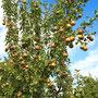Birnen, Äpfel, Zwetschgen