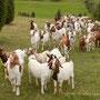 Ganz viele Ziegen und Schafe kommen den Hang hinauf gelaufen.