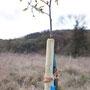 Eine Stiel-Eiche steht - mit Pfahl, Kokosband und Namensschild.