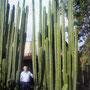 Otro de los orgullos de don Bruno son los cactus (conocidos como organos) que sembró hace 18 años en su casa, ahora con una altura de mas de 6 metros. Antiguamente la gente delimitaba su terreno con organos, era un distintivo de la comunidad.