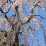 兼六園から種を持ちかえり植えた樹齢120数年