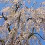昭和46年9月 天然記念物  かほく市指定文化財