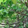 目白庭園の梅の木 実がなっている