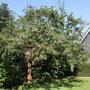 Der geschnittene Apfelbaum in diesem Sommer