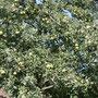 Es wird eine üppige Apfelernte bei Janoskes geben und den ein oder anderen Apfelkuchen!
