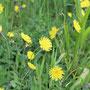 Kleines Habichtskraut - Hieracium pilosella