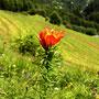 Alpen Feuerlilie