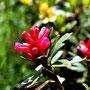 Alpenrose auch Almenrausch genannt