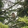 Erwachsene Waldohreule bei Tageslicht (08.06.2011)
