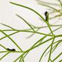 2021-07-20 Schwalbenschwanz - Raupen (4mm) vor der ersten Häutung