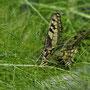 2021-06-03 Schwalbenschwanz - Weibchen bei der Eiablage