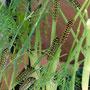 2021-08-08 Schwalbenschwanz - Raupen der zweiten Generation