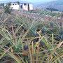 Hosiana-Kinder haben Ananas gepflanzt: jetzt wachsen sie wieder!!