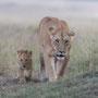 Lionne et petit