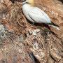 Basstölpel: Ein Nest aus Tod und Plastik