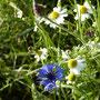 Kornblume und Kamille-Blüten