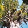Riesige Bäume gibt es nicht nur in den USA, sondern auch in Neuseeland