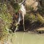 Kudu-Dame beim trinken...