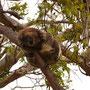 Dieser Koala hat sich einen Zweig direkt über der Straße zum Schlafen ausgesucht. Warum? Keine Ahnung! Kann ich nicht nachvollziehen...