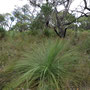 Grass trees! Derzeit Heikes Lieblingspflanze ;-)
