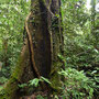 Baum im Würgegriff