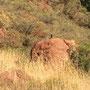 Ein paar Paviane hüpfen über die Felsen