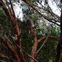 Der Koala schläft noch...