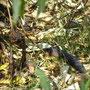 Die einzige Schlangenart auf Phillip Island läuft uns vor die Linse: die Copperhead Snake - hochgiftig!