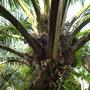 Ölpalmen bilden einen der wichtigsten Wirtschaftszweige auf Borneo