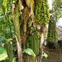 Baum mit verschiedenen Früchten?