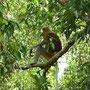 Philosophierender Affe
